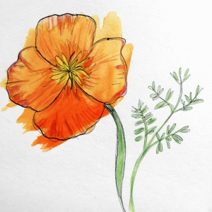 Illustration of a Field Poppy